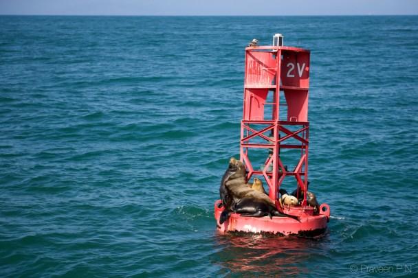 California sea lions basking in the sun