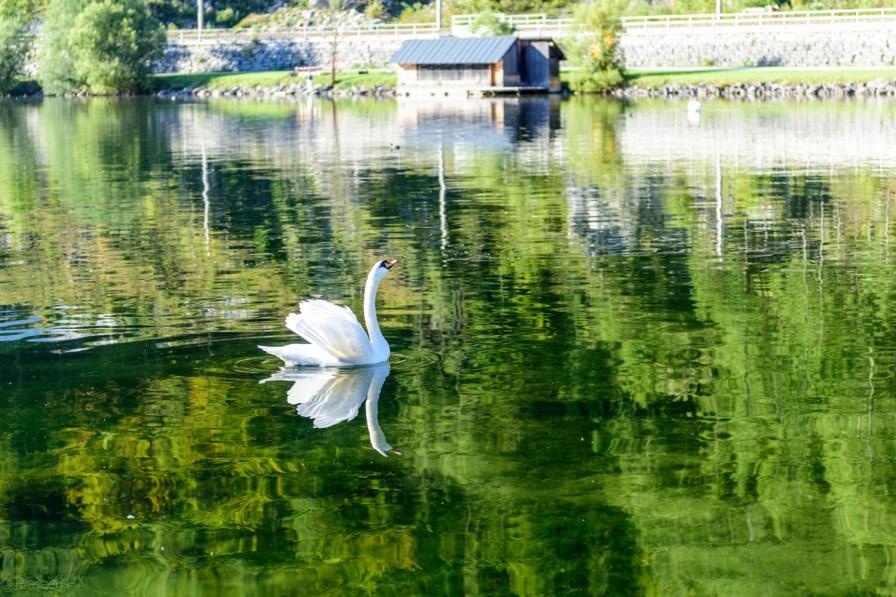 Swans of Hallstätter See
