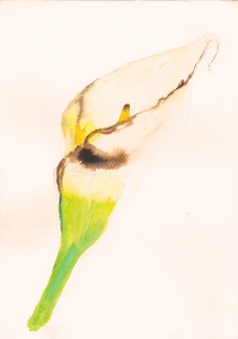 white lily watercolor