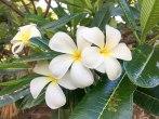 fiori di plumeria o frangipane. (foto: Anna Luciani)