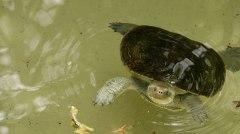 Tartaruga d'acqua dolce. Bungalow Bay Koala Village (foto: Anna Luciani)