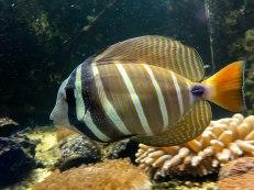 pesce appartenente alla famiglia Butterfly fish. Si riconoscono dalle strisce di colore che coinvolgono anche gli occhi. Aquasearch Aquarium (foto: Anna Luciani)