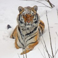 10 Facts You Might Not Know About Tigers