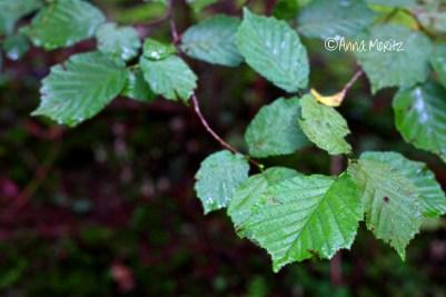 sprosslings of Sparassis crispa were growing under a hazel tree