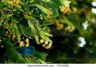 "nothing extraordinary , my top seller - ""linden tree in bloom"" twice"