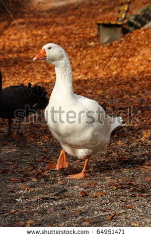 stock-photo-domestic-goose-in-the-park-of-castle-ambras-in-autumn-64951471