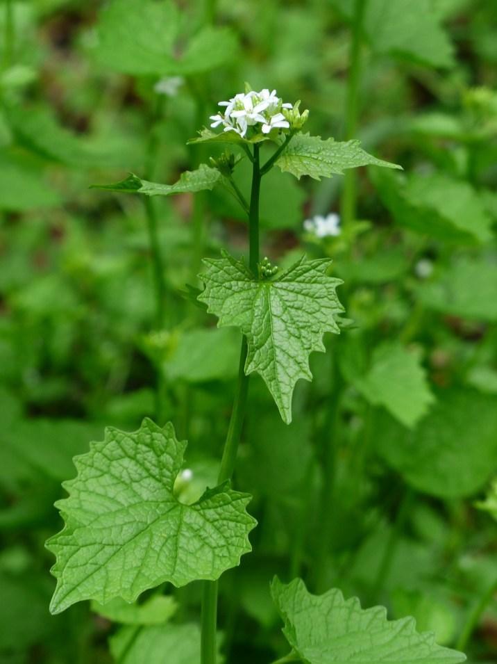 White Garlic Herb Garlic Mustard Blossom Bloom