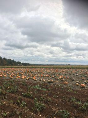 Pumpkin patch at Cotswold Farm Park