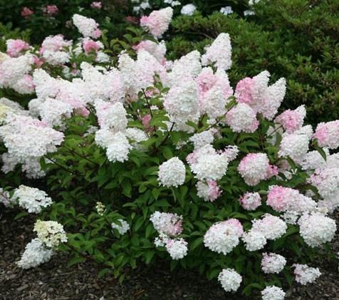 Crocus Hydrangea paniculata 'vanille fraise'