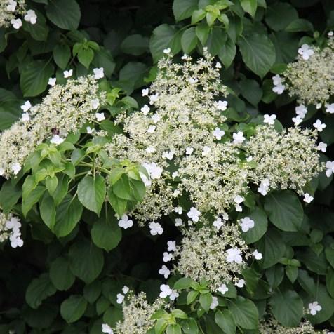 Crocus hydrangea anomala subsp. petiolaris (climbing)