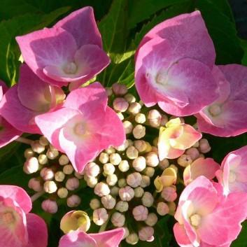 Gardening Express Hydrangea macrophylla Taube - Large Lacecap Hortensia Hydrangea Plant