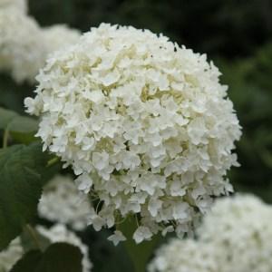 Waitrose Hydrangea arborescens 'Annabelle'