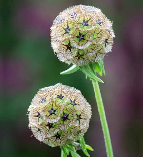 Scabiosa cut flowers