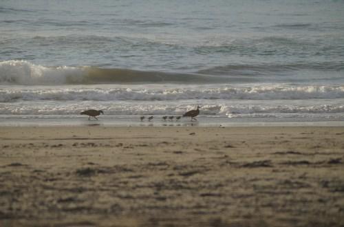 Entenfamilie läuft am Strand entlang