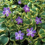 Variegated vinca grows in sun or shade
