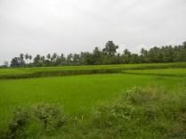 Rice field up close.