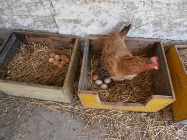 Chicken at the farm