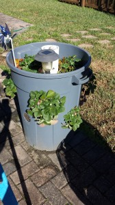 Strawberry Barrel (Container gardening)