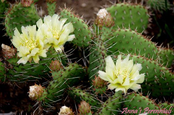 Winter Hardy Cactus Anna S Perennials