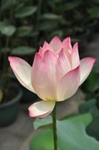 lotus-142028__180