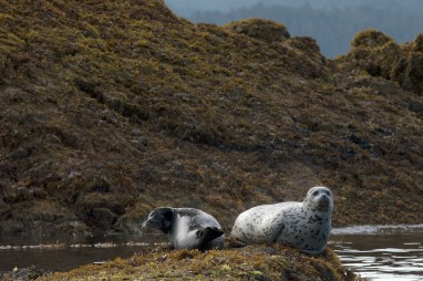 Harbor Seals. Photograph, Ann Fisher.