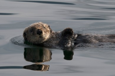 Cute and fuzzy, but not so little. Male sea otters weigh 60 - 70 lbs. and are about the size of a labrador retriever. Photograph, Ann Fisher
