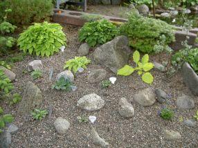 Gammal barrväxt tillsammans med Hosta