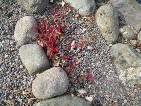 De här röda skotten blir gulbladig tremastarblomma
