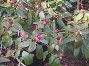 Vårrododendron på vägg att blomma