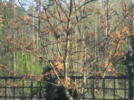 Bladutspring på Acer pseudoplatanus Brilliantissimum