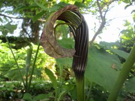 Arisaema 'Griffith'