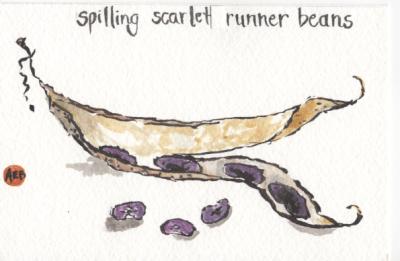 Scarlet-Runner-Beans-AB