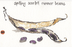 Scarlet Runner Beans watercolor by Anne Burgevin