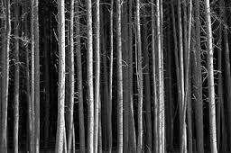 tree trunks black and white