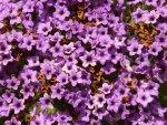 vanilla_flower_heliotrope_solstice