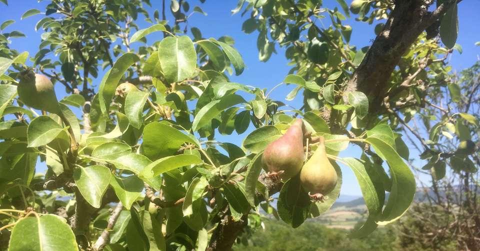 pærekart på vingården
