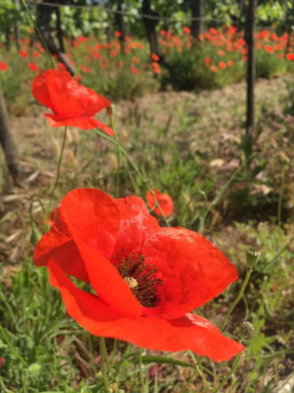 valmuer-blomst-vingård