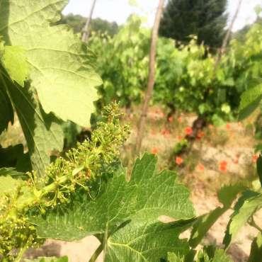 Har du noengang sett druer i blomst? I juni blomstrer de på vingården. De er avhengig av rett vær for at de skal pollineres og bli til druer.