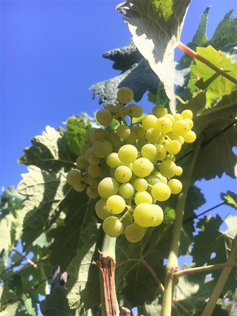 Blomster har blitt til druer. Struttende drueklaser pynter opp vingården vår i Acquapendente i Italia i juli. De gir glede og forventning om en ny vinhøst.