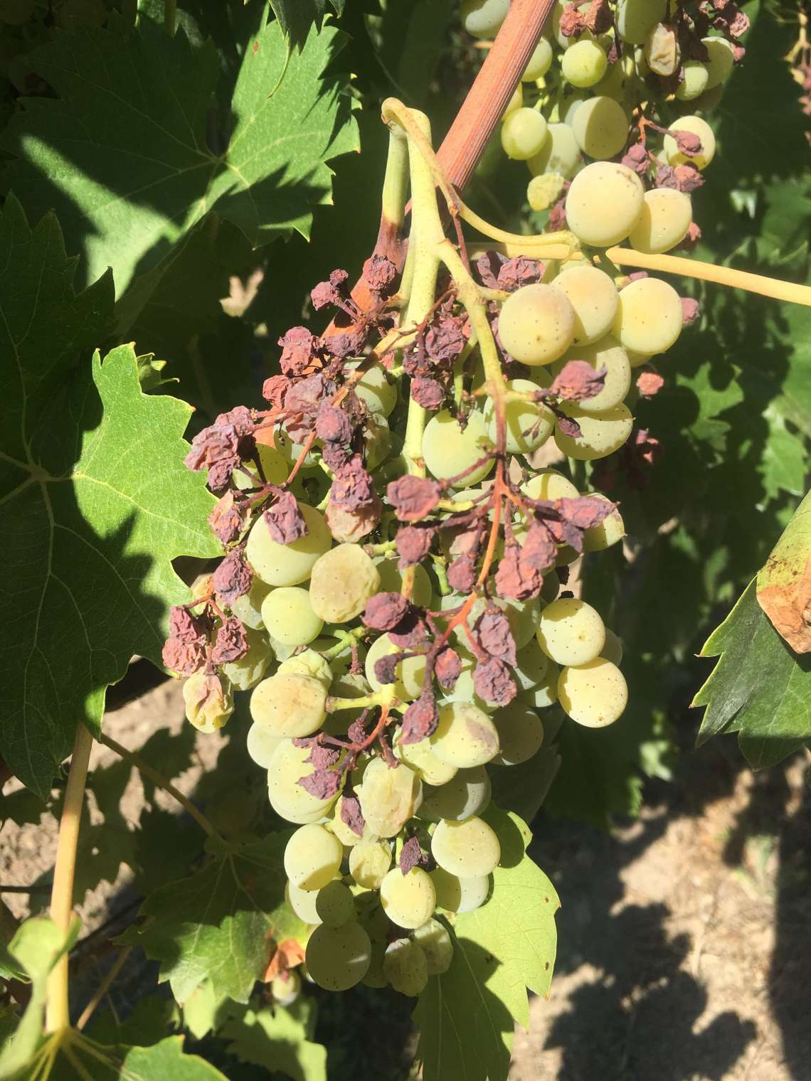 The extreme heat and dry climate this year may give Italian wine producers a reduction in grapes and wine this year. But perhaps it may lead to better wine?