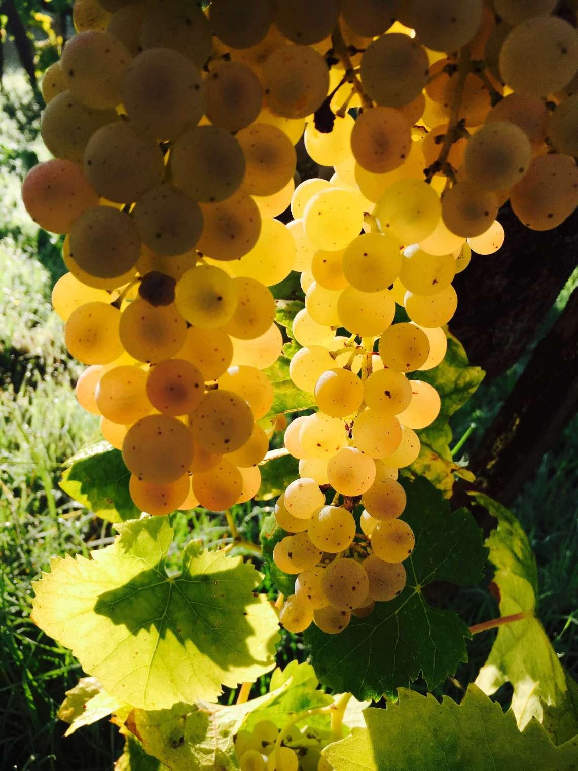 For en glede å komme til vingården vår i Italia. Druene er så fine og jeg forbereder innhøsting av druer.I morgen skal årets druer høstes og bli til vin.