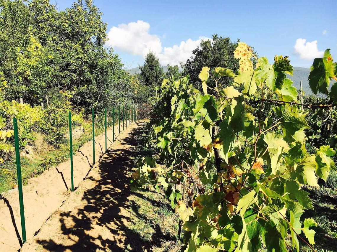 Villsvin har spist et helt felt med vindruer på vingården vår i Italia. I natt tok vi dem på fersken, under årets jakt på villsvin. Nå beskytter vi druene.