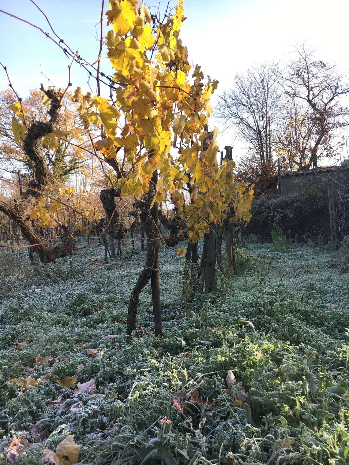 Det er årets siste arbeidsøkt på vingården vår i Italia. Bli med meg inn og se høst blir til vinter på vingården, fargerike og rimbelagte vinblader.