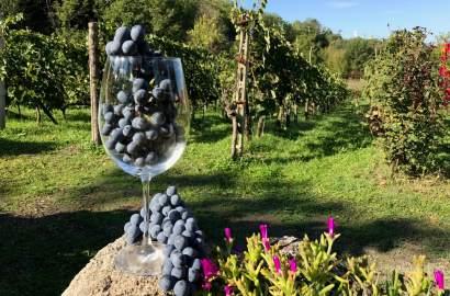 Du har ett glass vin i hånda - og vet at det inneholder druer stappfulle av antioksidanter. Men har du også lurt på dette: hvor mange druer er det i ett glass vin? Mye tyder på at en drueklase gir ett glass, men det kommer an på flere faktorer, som vær, druetype og pressing.