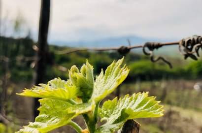 et har vært en kraftig økning i produksjon og salg avøkologisk vin de siste årene. Men er det egentlig bedre? For egen del, lurer jeg på om vi må og ønsker sprøyte druene? I så fall, må jeg få et sertifikat, selv for å kjøpe økologiske sprøytemidler.Det er ikke en enkel sak.