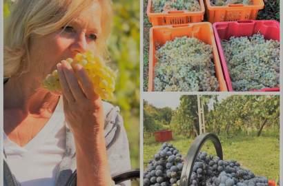 Sjelden om aldri har vi sett vakrere druer som vinhøsten 2019 på vingården i Lazio i Italia. Forventningene til druene som nå er høstet er høye, for god kvalitet på druene er essensielt for å lage god vin.