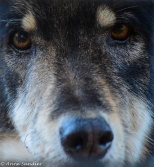 A wolf/dog blend.