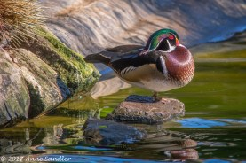 My first shot of a wood duck.