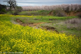 Mustard and an almond orchard.