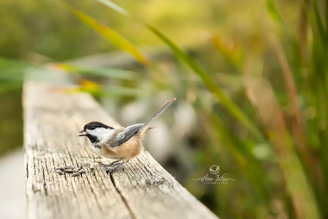 Comment réaliser un portrait d'oiseau… de trèèèès près ! par Anne Jutras